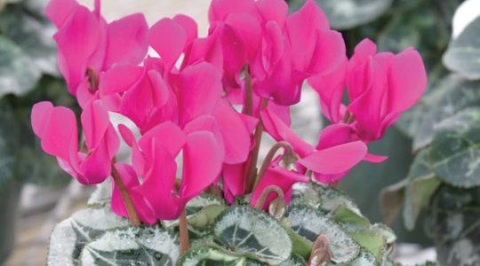 Cveće iz semena