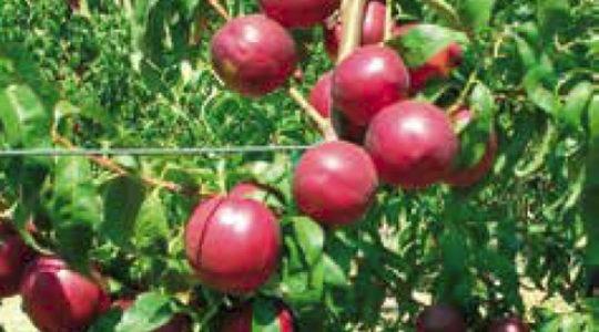 Sadnice nektarina